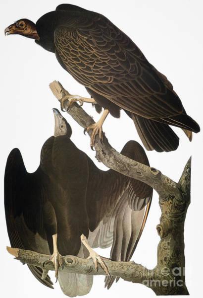 Wall Art - Photograph - Audubon: Turkey Vulture by Granger