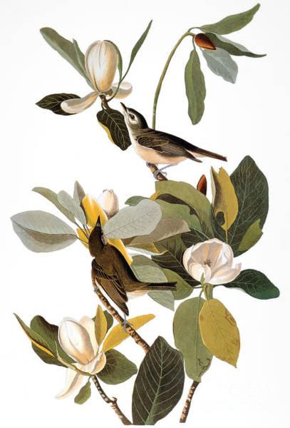 Photograph - Audubon: Vireo by Granger