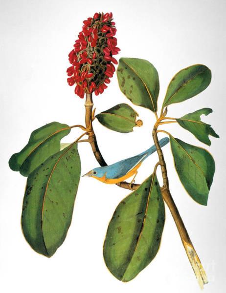 Wall Art - Photograph - Audubon: Warbler by Granger