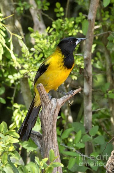 Icterid Photograph - Audubons Oriole by Anthony Mercieca