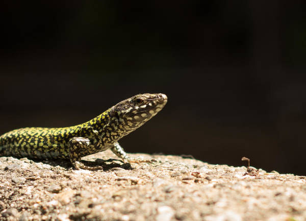 Photograph - Common Wall Lizard by Marilyn Wilson