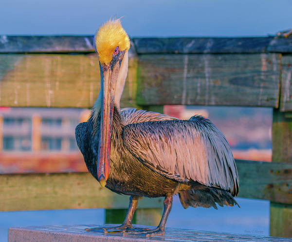Saint Augustine Florida Photograph - Augustine Pelican by Betsy Knapp