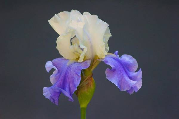 Photograph - Aunt Becky Iris by Polly Castor