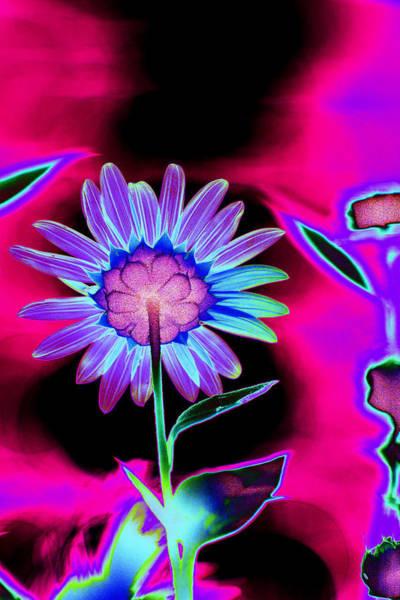 Photograph - Aurora Daisy by Richard Henne