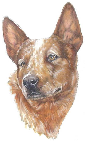Mixed Media - Australian Cattle Dog In Color by Barbara Keith