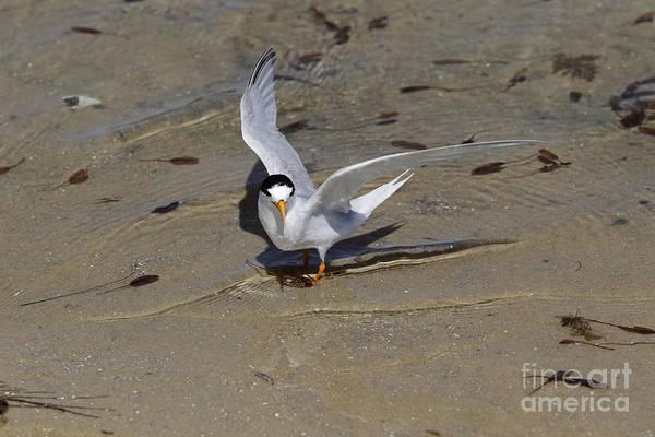 Melville Photograph - Australian Fairy Tern by John Watkins/FLPA