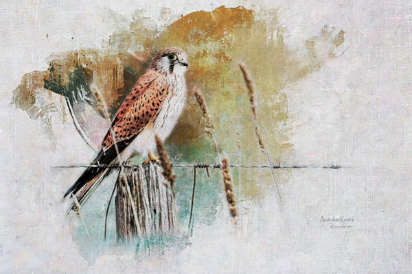 Australian Wildlife Digital Art - Australian Kestral by Rosemary Smith