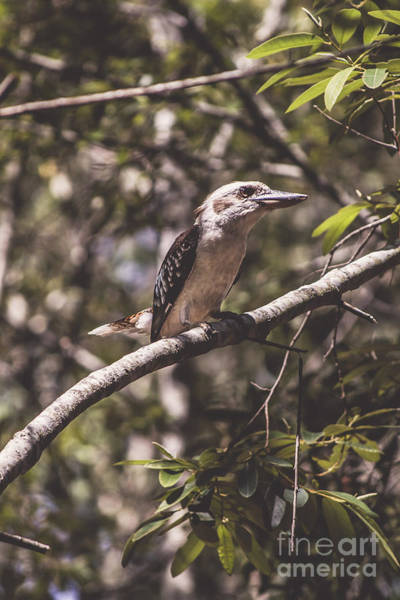 Wall Art - Photograph - Australian Kookaburra by Jorgo Photography - Wall Art Gallery