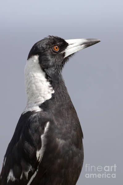 Photograph - Australian Magpie by Karen Van Der Zijden