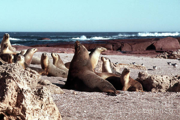 Photograph - Australian Sea Lions by Rick Piper Photography
