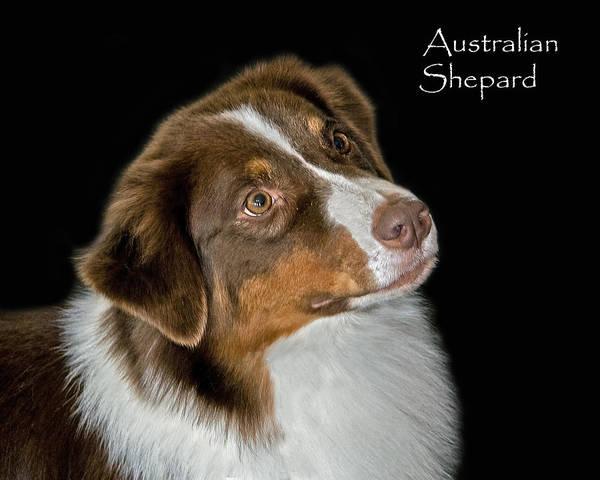 Photograph - Australian Shepard by Larry Linton