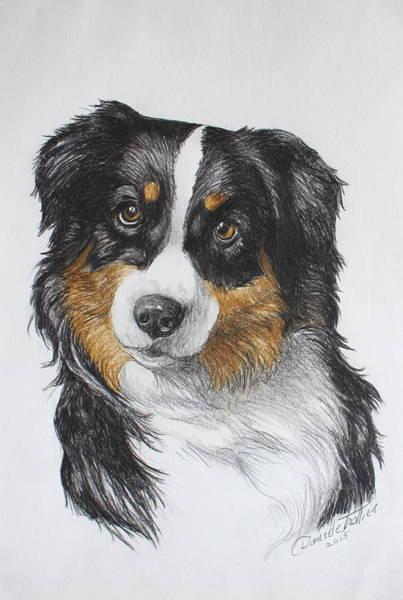 German Shepherd Drawing - Australian Shepherd by Daniele Trottier