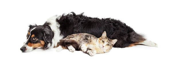 Tan Cat Wall Art - Photograph - Australian Shepherd Dog And Cat Laying Together by Susan Schmitz