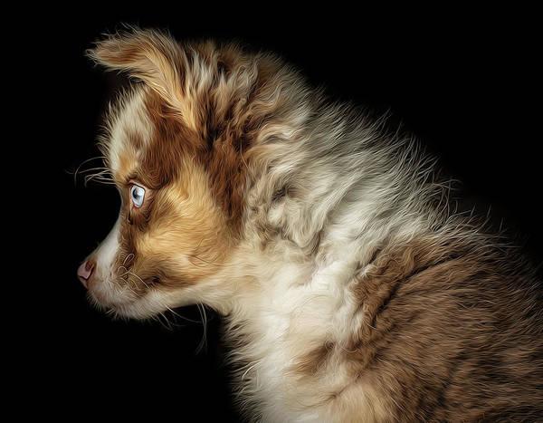 Shepherds Photograph - Australian Shepherd Puppy Profile by Robert Hayton