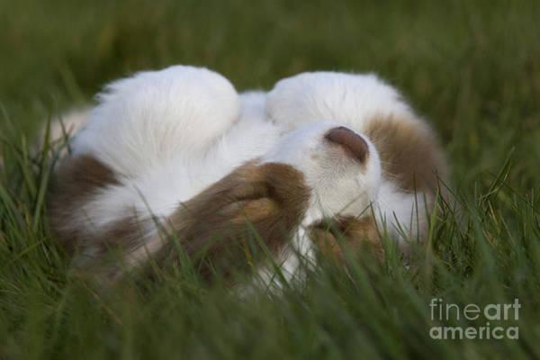 Laying Out Photograph - Australian Shepherd Puppy Sleeping by Jean-Louis Klein & Marie-Luce Hubert
