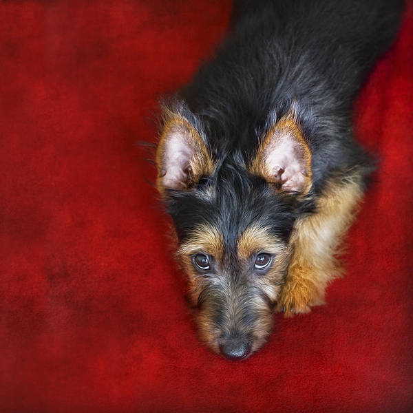 Red Wolf Photograph - Australian Terrier Puppy by Wolf Shadow Photography