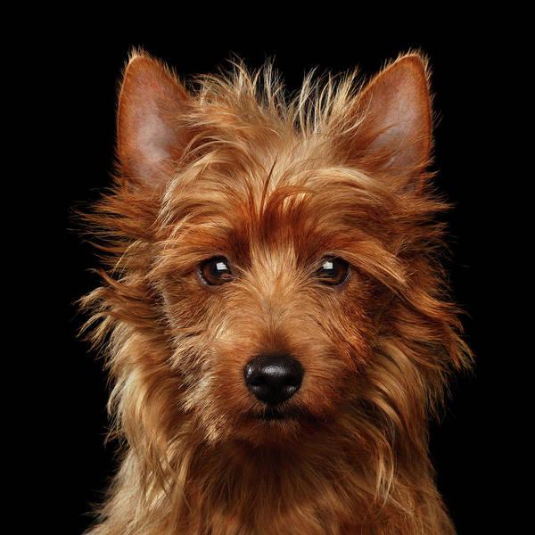 Photograph - Australian Terrier by Sergey Taran