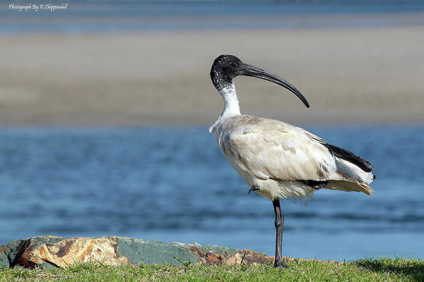 Australian Wildlife Digital Art - Australian White Ibis 06158 by Kevin Chippindall