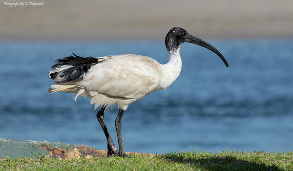 Australian Wildlife Digital Art - Australian White Ibis 07589 by Kevin Chippindall