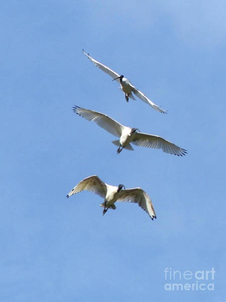 Photograph - Australian White Ibis In Flight by Phil Banks