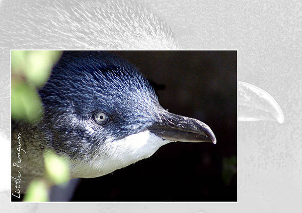 Wall Art - Photograph - Australian Wildlife - Little Penguin by Holly Kempe