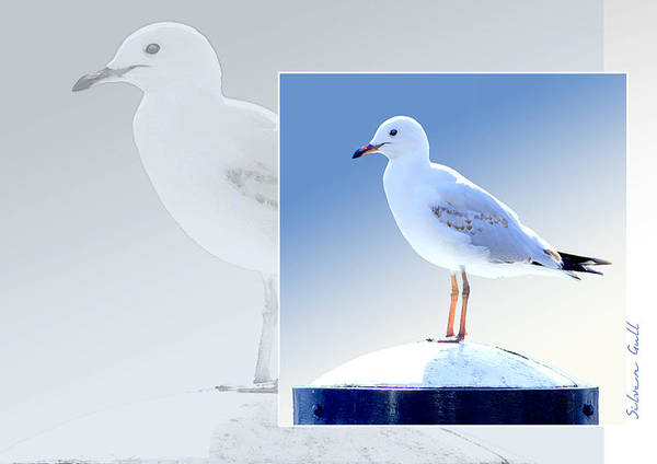 Wall Art - Photograph - Australian Wildlife - Silver Gull by Holly Kempe