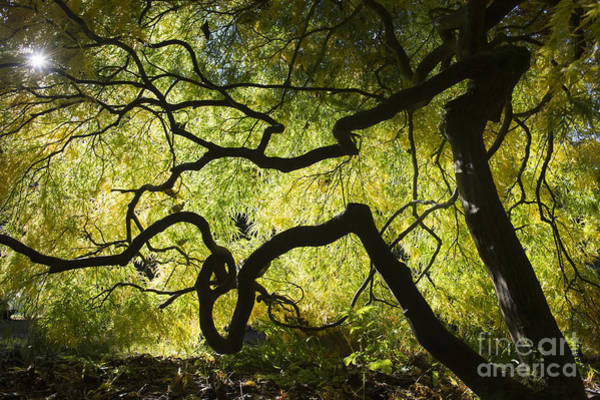 Feathery Photograph - Autumn Acer Sunlight by Tim Gainey