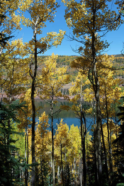 Photograph - Autumn Aspen Against Blue Water by Cascade Colors