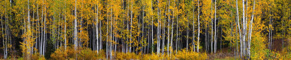 Photograph - Autumn Aspen Alliteration by David Andersen