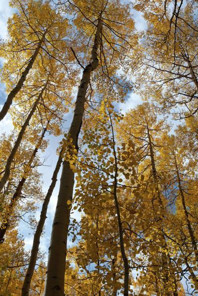 Photograph - Autumn Aspen Canopy  by Cascade Colors