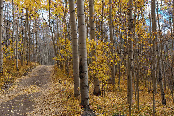 Photograph - Autumn Aspen Forest And Road On Slopes Of South Elbert by Cascade Colors