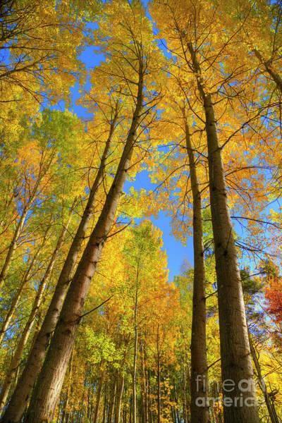 Aspen Forest Photograph - Autumn Aspen Forest by Veikko Suikkanen