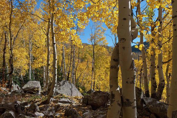 Photograph - Autumn Aspen Near Kebler Pass by Cascade Colors