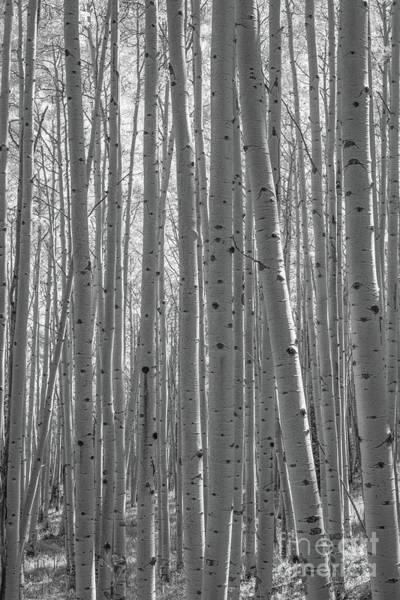 Photograph - Autumn Aspen Trees Bw by Michael Ver Sprill