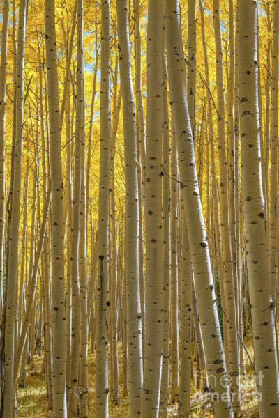 Photograph - Autumn Aspen Trees  by Michael Ver Sprill
