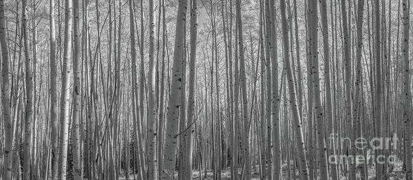 Photograph - Autumn Aspen Trees Panorama Bw by Michael Ver Sprill