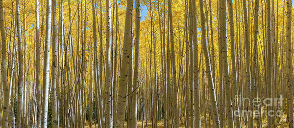 Photograph - Autumn Aspen Trees Panorama  by Michael Ver Sprill