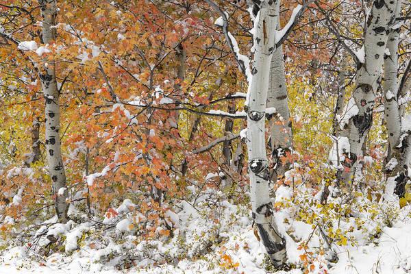 Photograph - Autumn Aspens 7 by Leland D Howard