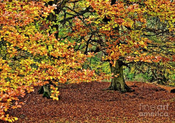 Photograph - Autumn Beech Trees by Martyn Arnold