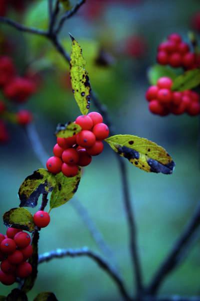 Photograph - Autumn Berries 5570 H_2 by Steven Ward