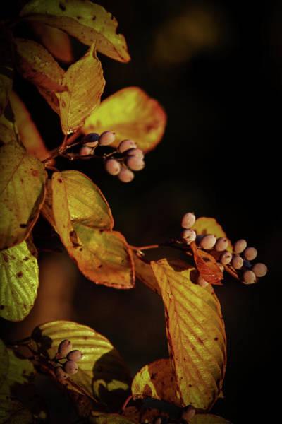 Photograph - Autumn Berries 6043 H_2 by Steven Ward