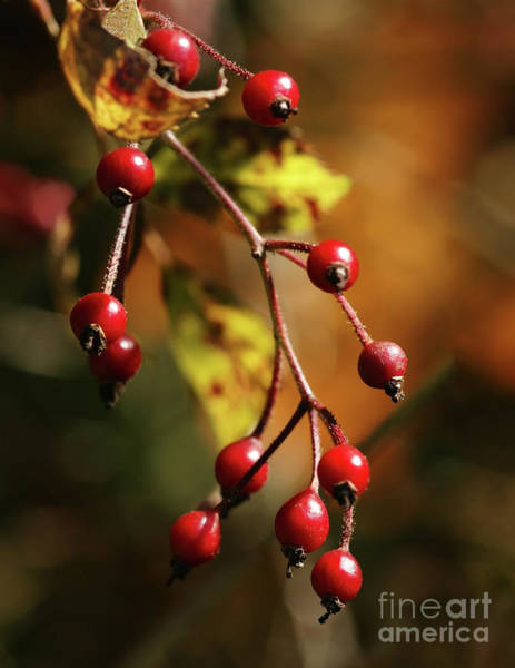 Photograph - Autumn Berries by Linda Shafer