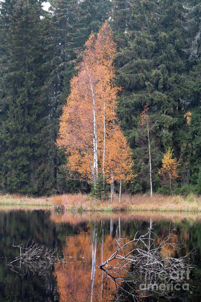 Woodland Wall Art - Photograph - Autumn Birch By The Lake by Michal Boubin