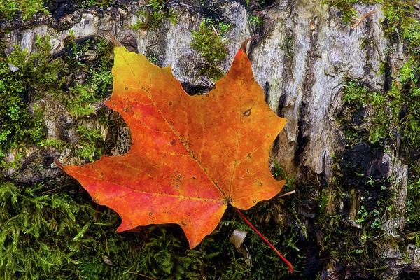 Photograph - Autumn Birch by Heather Kenward
