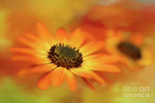 Osteospermum Hybrid Photograph - Autumn Blooms by Darren Fisher