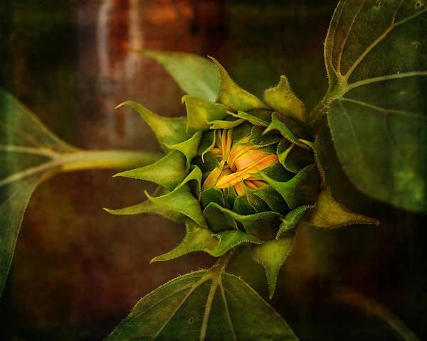 Susan Photograph - Autumn Bud by Susan Capuano
