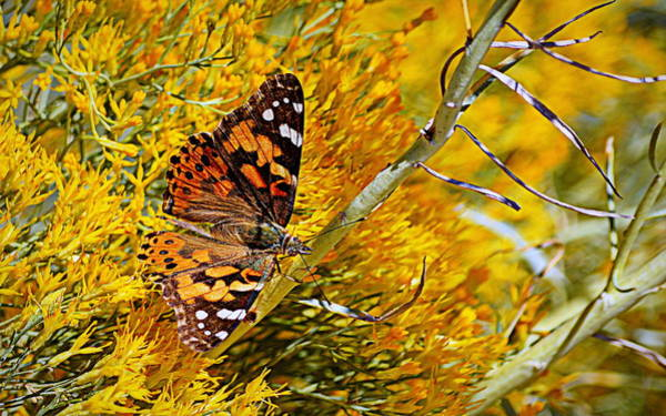 Photograph - Autumn Butterfly by AJ Schibig