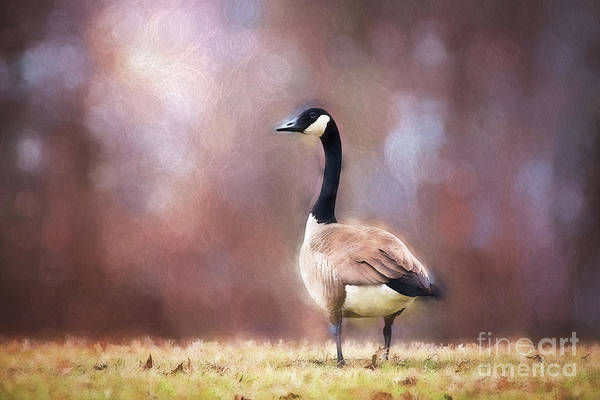 Gander Photograph - Autumn Canada Goose by Sharon McConnell