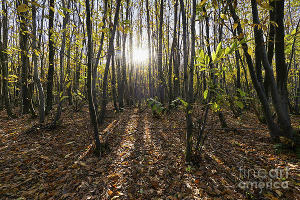 Coppice Photograph - Autumn Chestnut Coppice by Richard Thomas