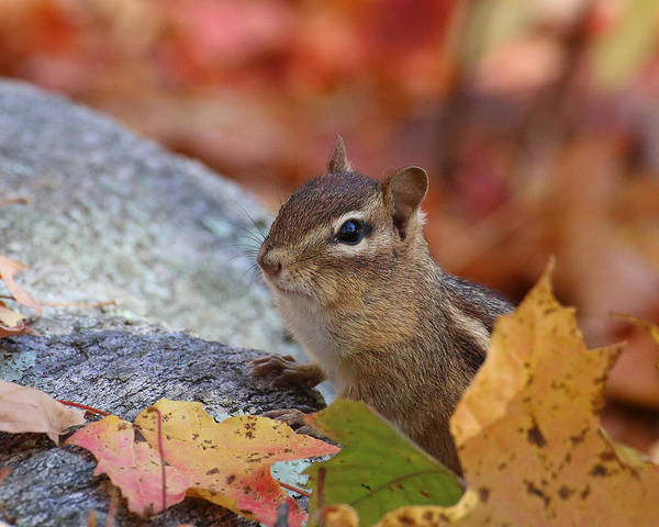 Photograph - Autumn Chipmunk by William Selander